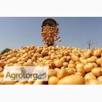 Продам якісне насіння картоплі