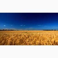 Закупимо пшеницю постійно у сільгоспвиробників! Будь-якої якості і відповідно до Держ