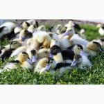 Приобрести яйца для инкубации уток Мулард