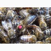 Продам пчелоломатки карпаткы, отправка по Украине, Тысменица