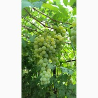Продам виноград Подарок Запорожью