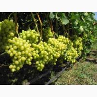 Предлагаю виноград в большом количестве