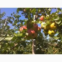 Продам яблука врожаю 2018 з саду