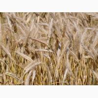 Куплю зерно тритикале