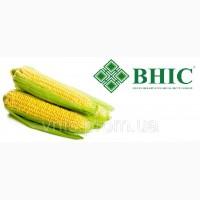 ВНІС: насіння кукурудзи Амарок 300 (ФАО 330)