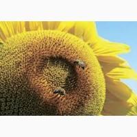 Семена подсолнечника Тунка Круизер (Лимагрейн)