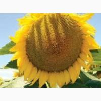 Семена подсолнечника Рона