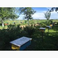 Продам пчеломатки Карпатки 2020г