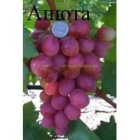 Самые крупные привитые сорта винограда 2х-лет