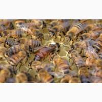 Пчеломатки Неплодные