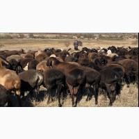 Продам овец гиссарской породы