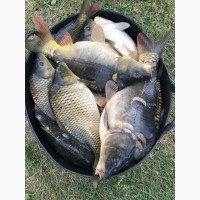 Продам товарну рибу (короп, товстолоб, амур)