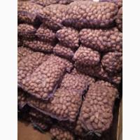 Продам отличный семенной картофель Словянка
