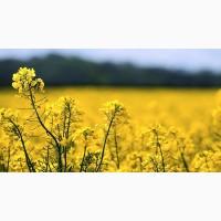 Продам насіння ріпака везувій (насіння ріпаку під раундап)