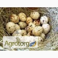 Продам инкубационные перепелиные яйца