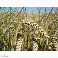 Семена пшеницы озимой - сорт Богдана. 1 репродукция