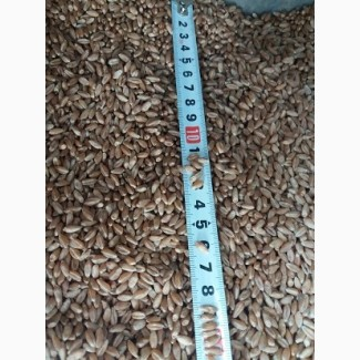 Продам насіння пшениці Памір