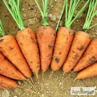 Продам морковь сорта Шантанэ