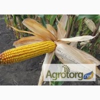 Семена кукурузы венгерской Вудсток Гибрид ГС 240 - ФАО 230