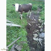 Продам телицю річну на корову