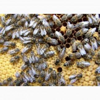 Продам бджоломатки Карпатської породи Вучківського типу, Закарпатська