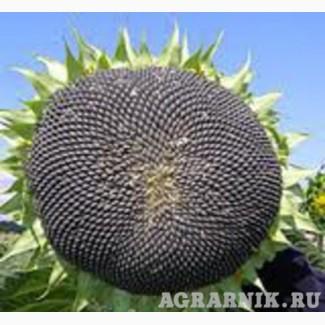 Купить семена подсолнуха под Евролайтин и Гранстар