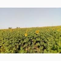 Семена подсолнечника Дарил (устойчив к заразихе расс A-F)