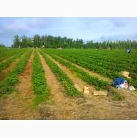 Продам клубнику оптом с поля