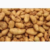 Продажа картофеля оптом от 10 тонн