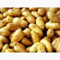 Поставка Картофеля (до 15 тонн в день) на экспорт, опт
