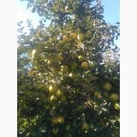 Продам яблука різних зимових сортів