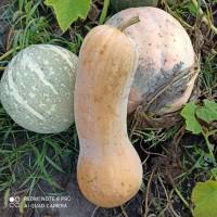 Продам капусту-сорт(Агрессор)