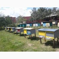 Продам бджолопакети, карпатка