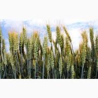 Семена пшеницы озимой Шестопаловка 1 репродукция