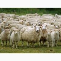 Закупаю баранов, овец