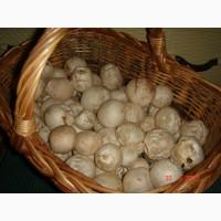 Продам свежие яйца гриба веселка