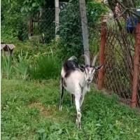 Продаются дойные козы и козлята
