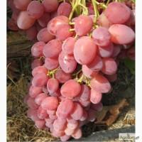 Реализуем саженцы винограда десертных и кишмишных сортов. Гарантия сортности.Доставка