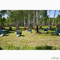 Продам бджолосім#039;ї ( пчелосемьи ) 2017