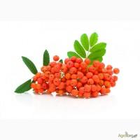 Куплю свіжозірвані ягоди червоної горобини. Червона горобина