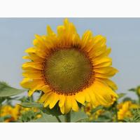 Насіння соняшника НС Таурус, толерантного до Евро-Лайтнінгу