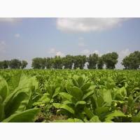 Куплю листья табак вержинию берли листья дорого а постийний основи
