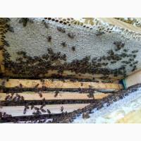 Бджолопакети на рамку Рут(230мм) Карніка