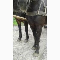 Продам гарних великих пару коней