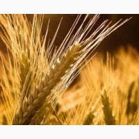 Закупівля с/г продукції. Ячмінь, соя, ріпак, кукурудза, пшениця, соняшник