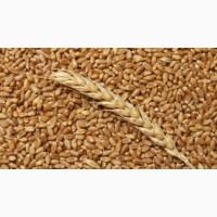 Покупаю пшеницу Урожай 2020 года