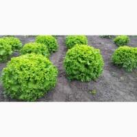 Продам Зелень, Листовые овощи, Салат
