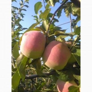 Яблоко сорта Флорина
