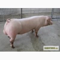 Продам спермодози для штучного запліднення свиней. Порода Ландрас, Петрен.
