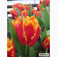 Тюльпаны к 8 марта Харьков !!!